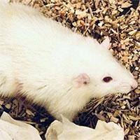 Ghép thành công gan người cỡ nhỏ cho chuột