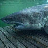 Cá mập bơi hơn 1000km để tránh giao phối