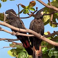 Phát hiện phân loài mới của loại vẹt nổi tiếng nhất nước Úc