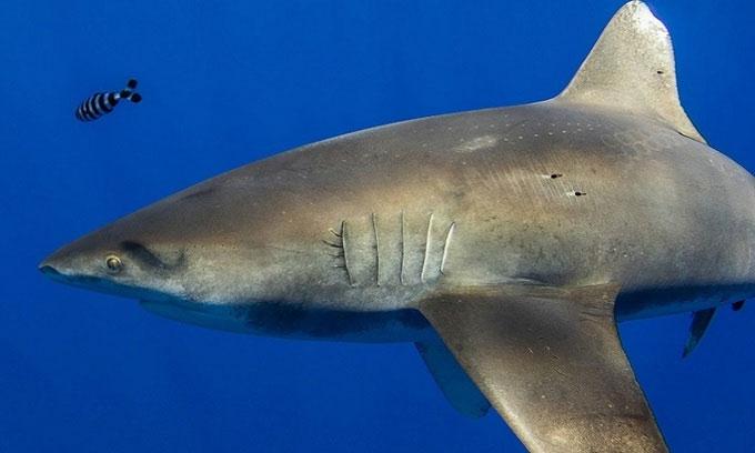 Dấu giác hút gần vây lưng cá mập.