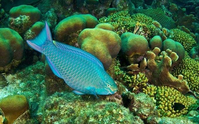 Cá vẹt (hay còn gọi là cá mó).