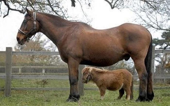 Con ngựa thấp nhất: Thumbelina, 0,44m
