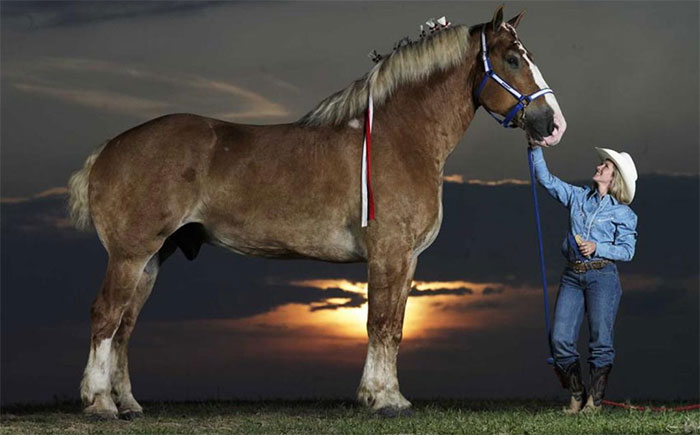 Con ngựa cao nhất: Big Jake, cao 2,1 mét