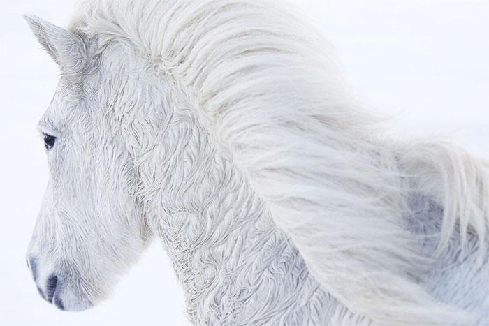 Để thích nghi với điều kiện sống khắc nghiệt, bộ lông của chúng mọc dài và mượt.