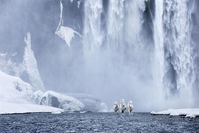 Ngựa Iceland là một trong những giống loài có nhiều màu sắc nhất trên thế giới
