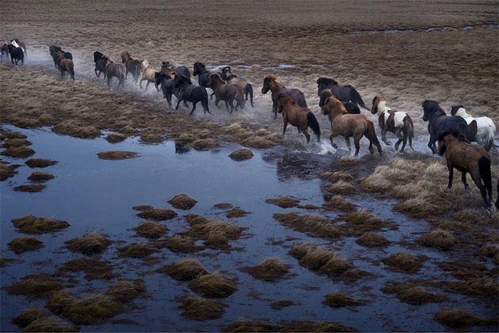 Ngựa trắng chạy dài trên bãi cát đen của Breiðamerkursandur.