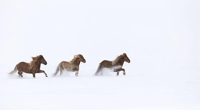 Ngựa Iceland