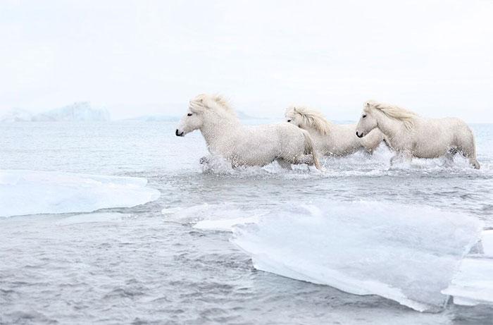 Ngựa ở đây khác biệt với bất kỳ giống loài nào khác được tìm thấy trên khắp thế giới