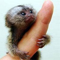 Loài khỉ siêu tý hon có kích thước bằng ngón tay cái, nặng 15 gram