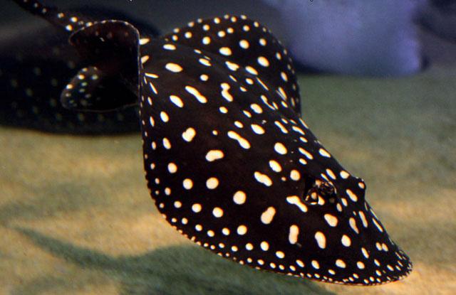 Cá sam có một cái gai nhọn có độc hình răng cưa nằm phía sau đuôi.