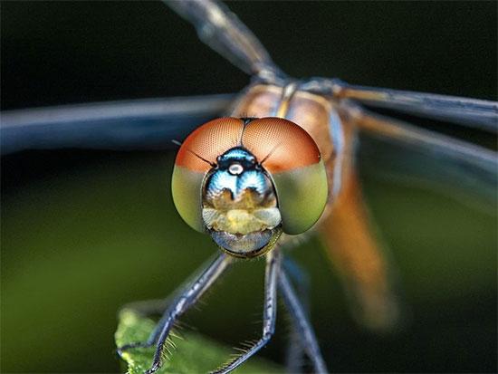 Đầu của con chuồn chuồn là nơi chứa tất cả các mắt
