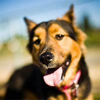 Chó có thể đánh hơi và phát hiện tiếng động từ khoảng cách bao xa?