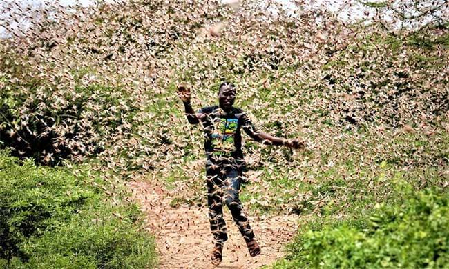 Nạn châu chấu đang hoành hành tại nhiều nước châu Phi.
