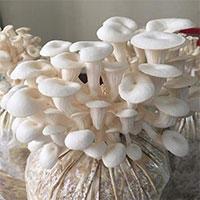 Trung Quốc công bố phát hiện mới về nguồn gốc của nấm sò