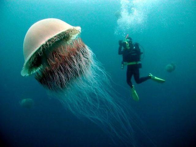 Đây là một trong những loài sứa lớn nhất thế giới.