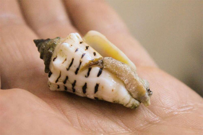 Bon Appétit: một mẫu vật sống của động vật thân mềm biển đã từng tồn tại từ thời tiền sử ở gần đảo Farasan.