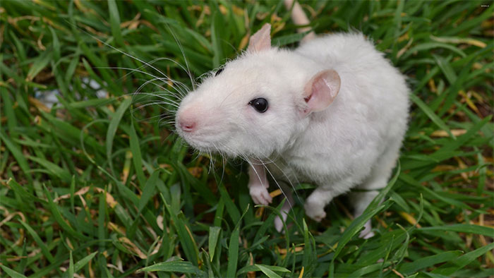 Chuột bạch từng được coi là thú cưng ở một số nơi.