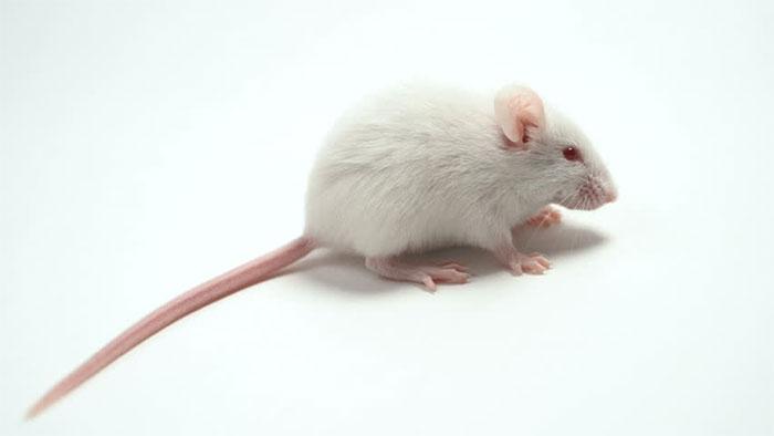 Loài chuột bạch ngày nay vốn được người dân ở vùng Andes, nay là Peru thuần hóa.