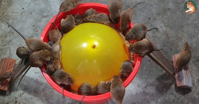 Cách làm bẫy chuột