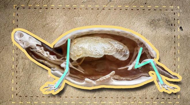2 phần xương hông và xương vai của rùa.