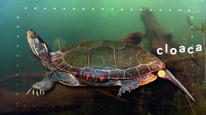 Rùa hô hấp qua lỗ hậu thường xảy ra khi chúng phải ở quá lâu dưới nước.