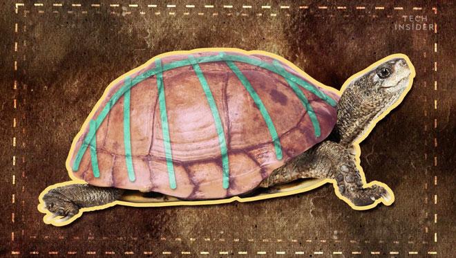 Rùa là một loài vật có cấu trúc cơ thể rất kỳ lạ.