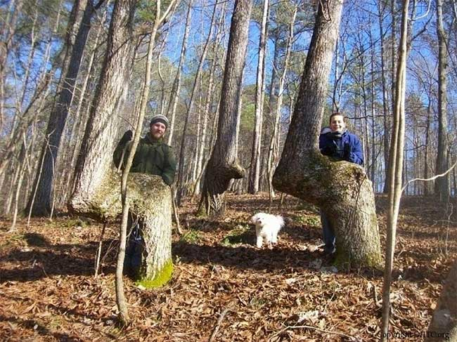 Bí mật cây uốn cong bất thường của người Mỹ bản địa