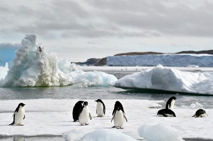 Mùa hè không băng của chim cánh cụt Adelie