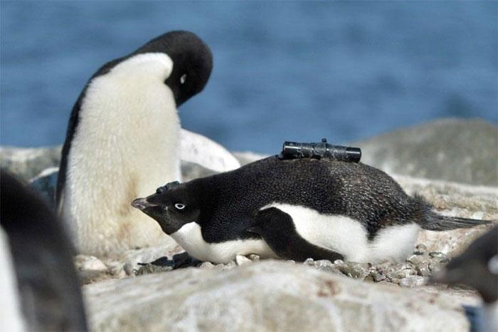 Một con chim cánh cụt được trang bị máy quay video và gia tốc kế trên người.