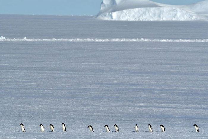 Chim cánh cụt Adelie ở Nam Cực.