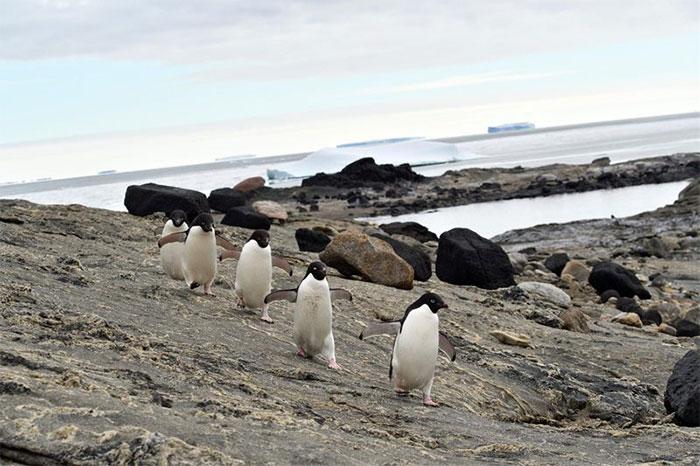 Khi có ít băng biển, chim cánh cụt có thể lặn bất cứ nơi nào chúng muốn.