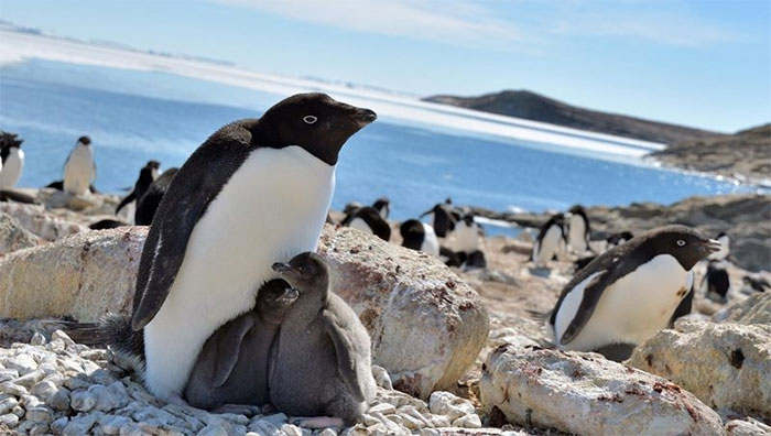 Chim cánh cụt Adelie ở vịnh Lutzow Holm, Nam Cực