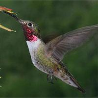 """Chim ruồi có thể nhìn thấy màu sắc """"vô hình"""""""