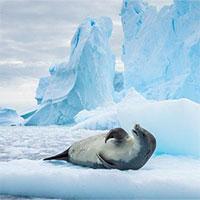 Dòng hải lưu chưa từng được biết đến được phát hiện nhờ... hải cẩu