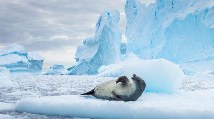 Nhờ hải cẩu mà chúng ta thấy được tác động của những dòng hải lưu phía trên bên dưới lớp băng đại dương.