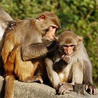 Trung Quốc ghép thành công tạng lợn trên khỉ