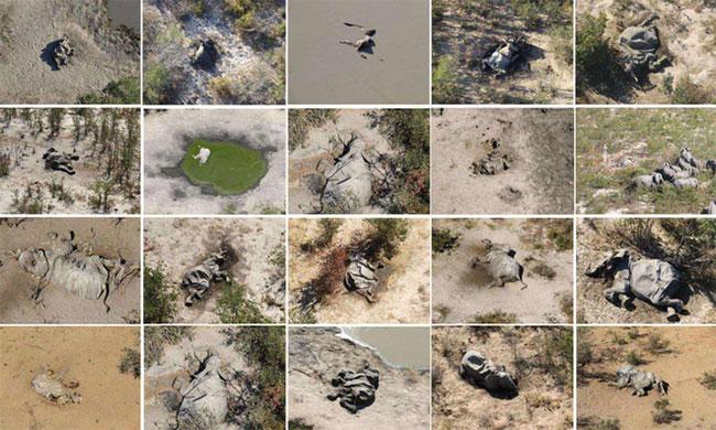 Tổng hợp ảnh voi chết bí ẩn trong thời gian gần đây.