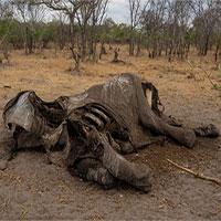 Hàng trăm con voi gục chết bí ẩn, thảm họa chưa từng thấy khiến các nhà khoa học hoảng loạn