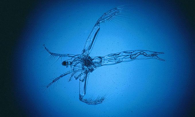 Leptodora hấp thụ thủy ngân độc hại dưới đáy hồ và mang lên bề mặt.