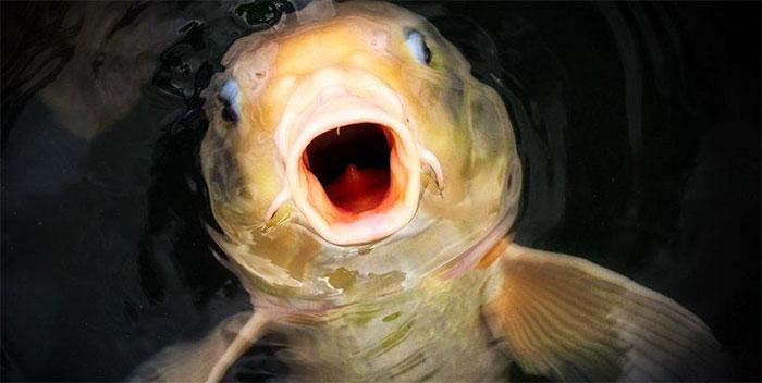 Endozoochory giúp cá có thể xuất hiện ở những vùng nước bị cô lập hoàn toàn