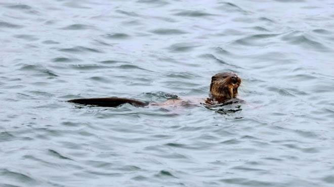 Con rái cá bơi đi sau khi tóm được con mồi.