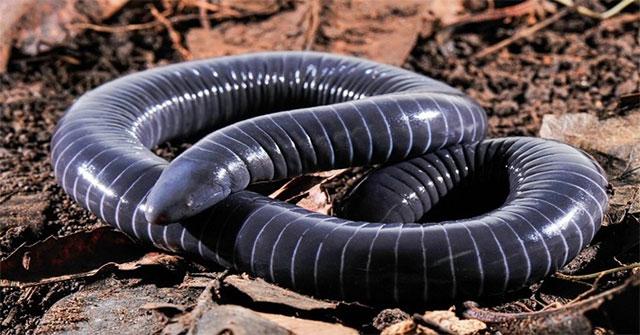 Kỳ quái loài vật giống rắn có nọc độc ở miệng