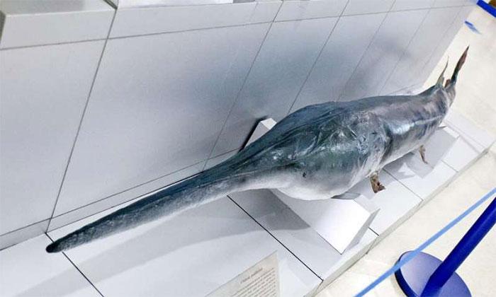 Cá mái chèo Trung Quốc ở sông Dương Tử đã tuyệt chủng mãi mãi.