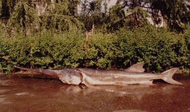 Cá mái chèo Trung Quốc là loại cá khổng lồ dài từ 3 - 7m và nặng tới 300-500kg.
