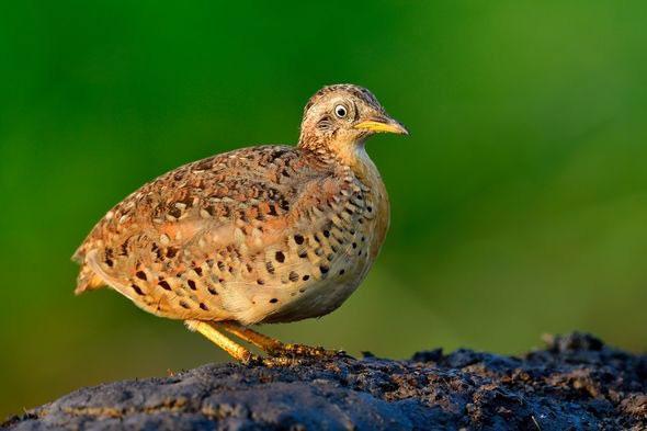Mặc dù kích thước nhỏ, những con chim cút chân vàng lại kêu rất lớn và vang.