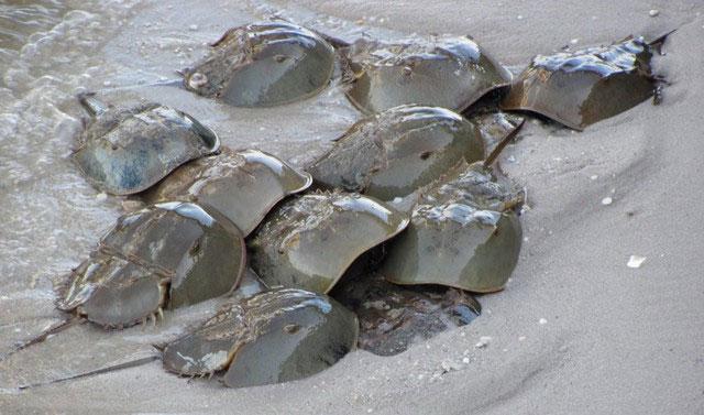Máu sam biển có rất nhiều công dụng trong y học.