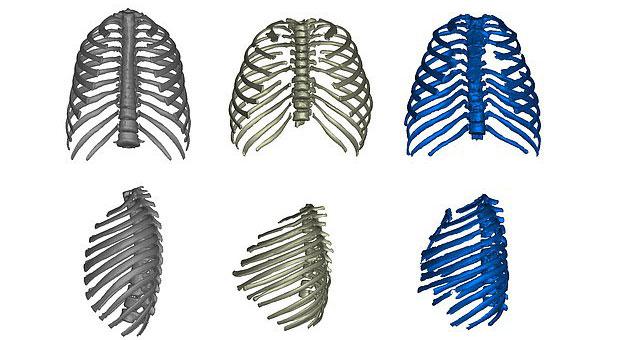 Từ trái qua: khung xương thể hiện hình dáng ngực người hiện đại, Homo erectus và người Neanderthals.