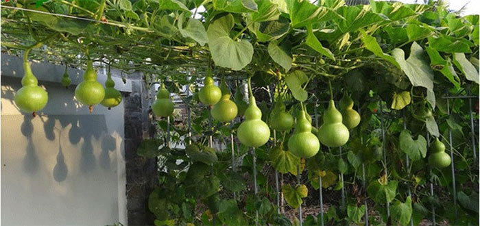 Quả bầu đắng có chứa độc tố thực vật phytotoxin.