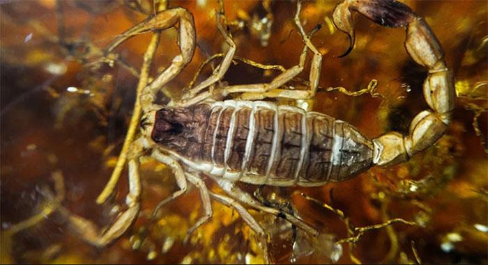 Chất độc trong loại bọ cạp này có thể điều trị các bệnh tự miễn và giúp điều trị một số loại ung thư.