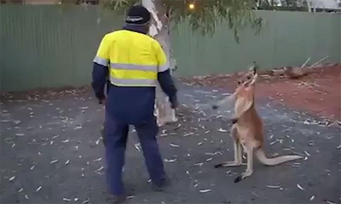 Kangaroo là sinh vật bản địa ở châu Úc.